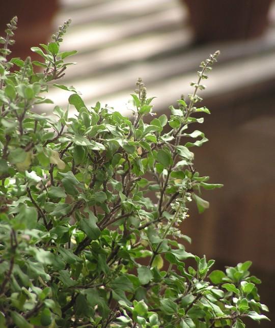 Tulsi plant - green variation (by GourandaUK)