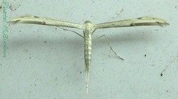 Oidaematophorus borbonicus.jpg