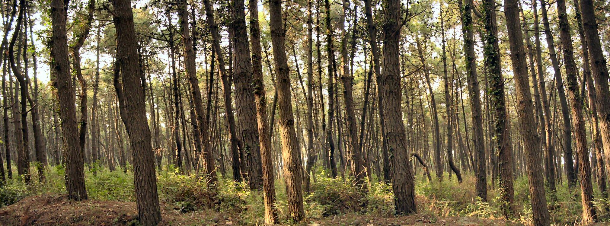 Bosque de pinos (Italia).