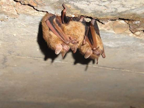 Image result for arkansas bat