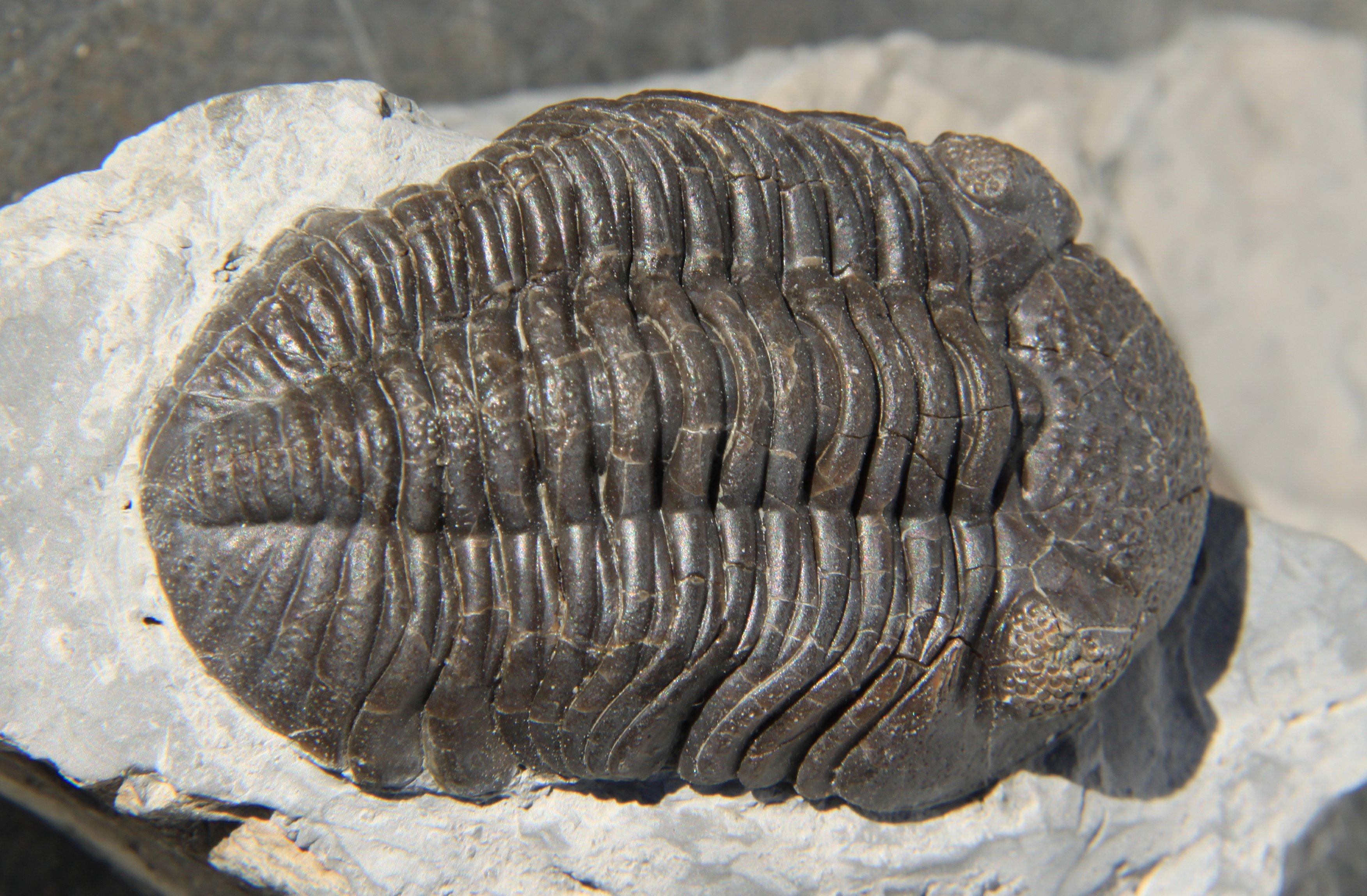 Trilobita - Wikipedia, la enciclopedia libre