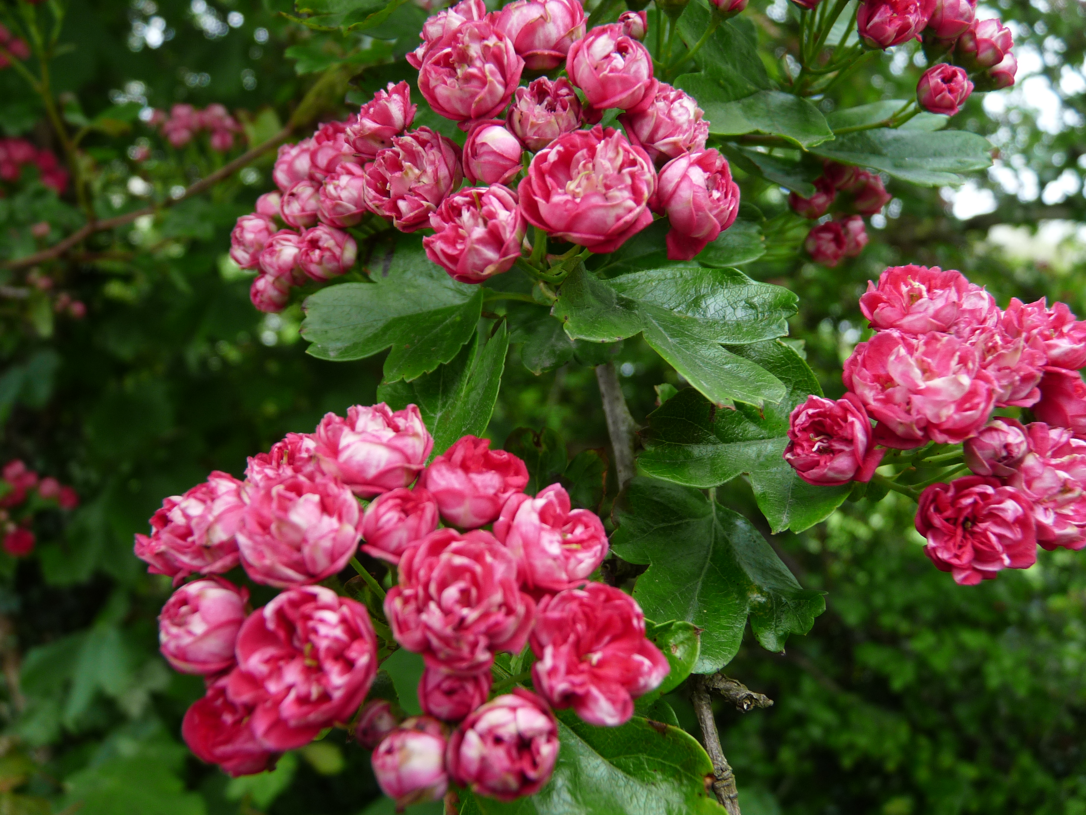File Pink Hawthorn 03 Wikimedia mons