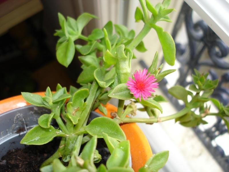 Fichier plante grasse wikip dia - Plante grasse retombante ...