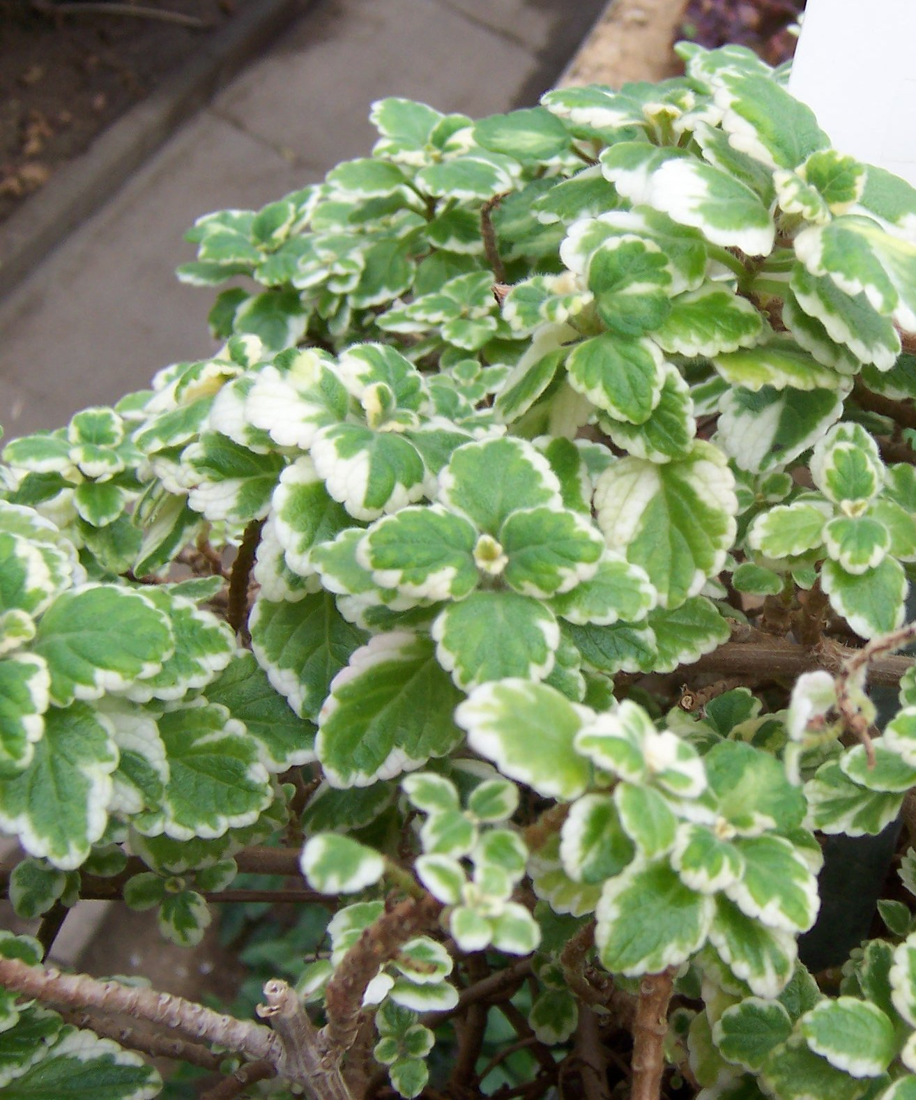 Potential Use of Plectranthus amboinicus in the Treatment