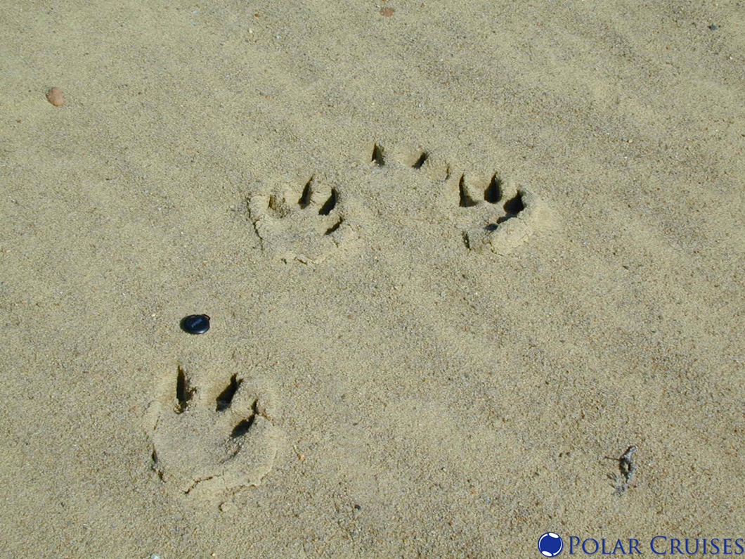 bear footprints template - the gallery for brown bear template
