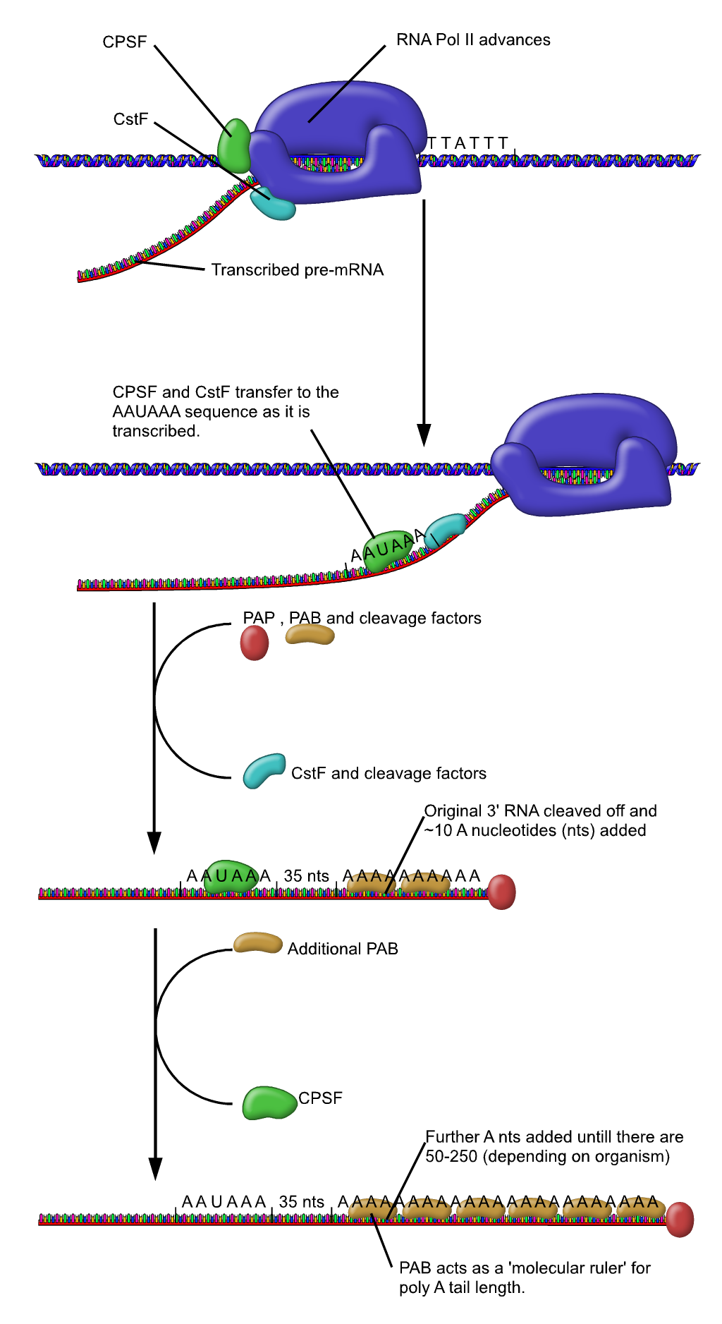 Protein Production: A Simple Summary of Transcription and Translation