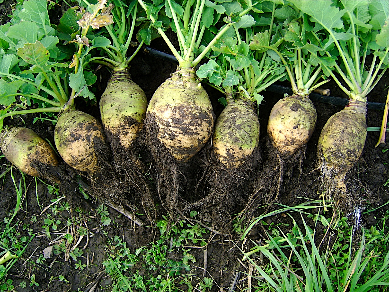 Image result for rutabaga