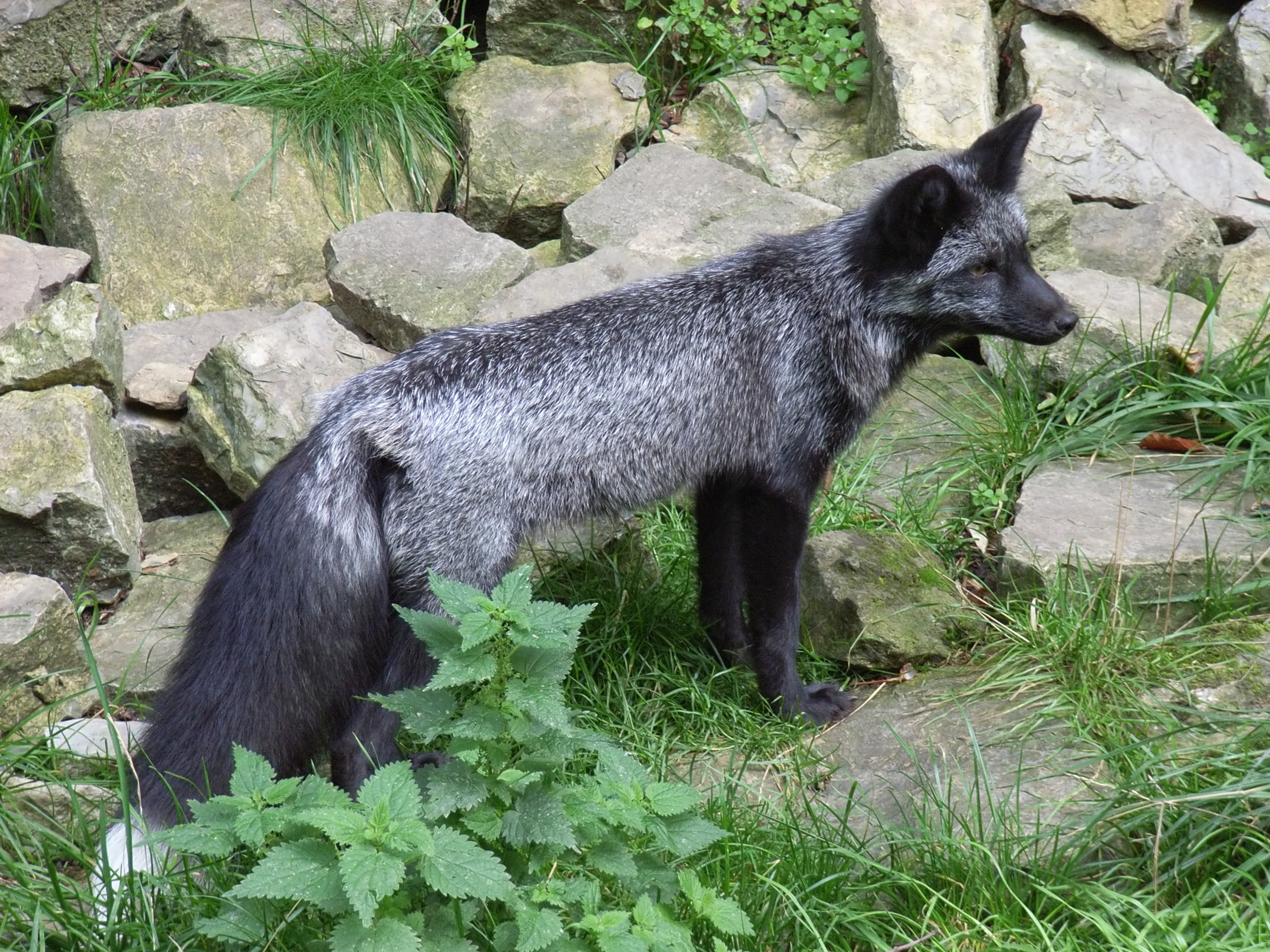 Image result for silver fox