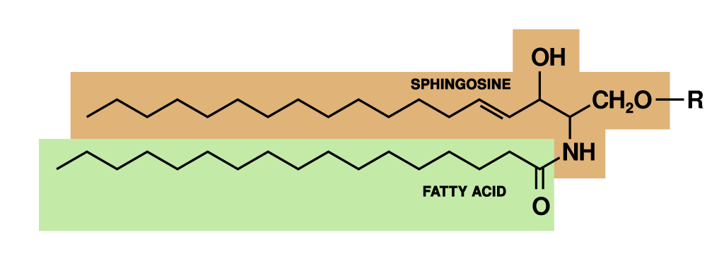 [Immagine: Sphingolipid.png]