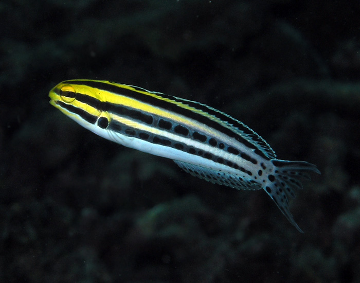 Striped blenny is a great fish for beginners