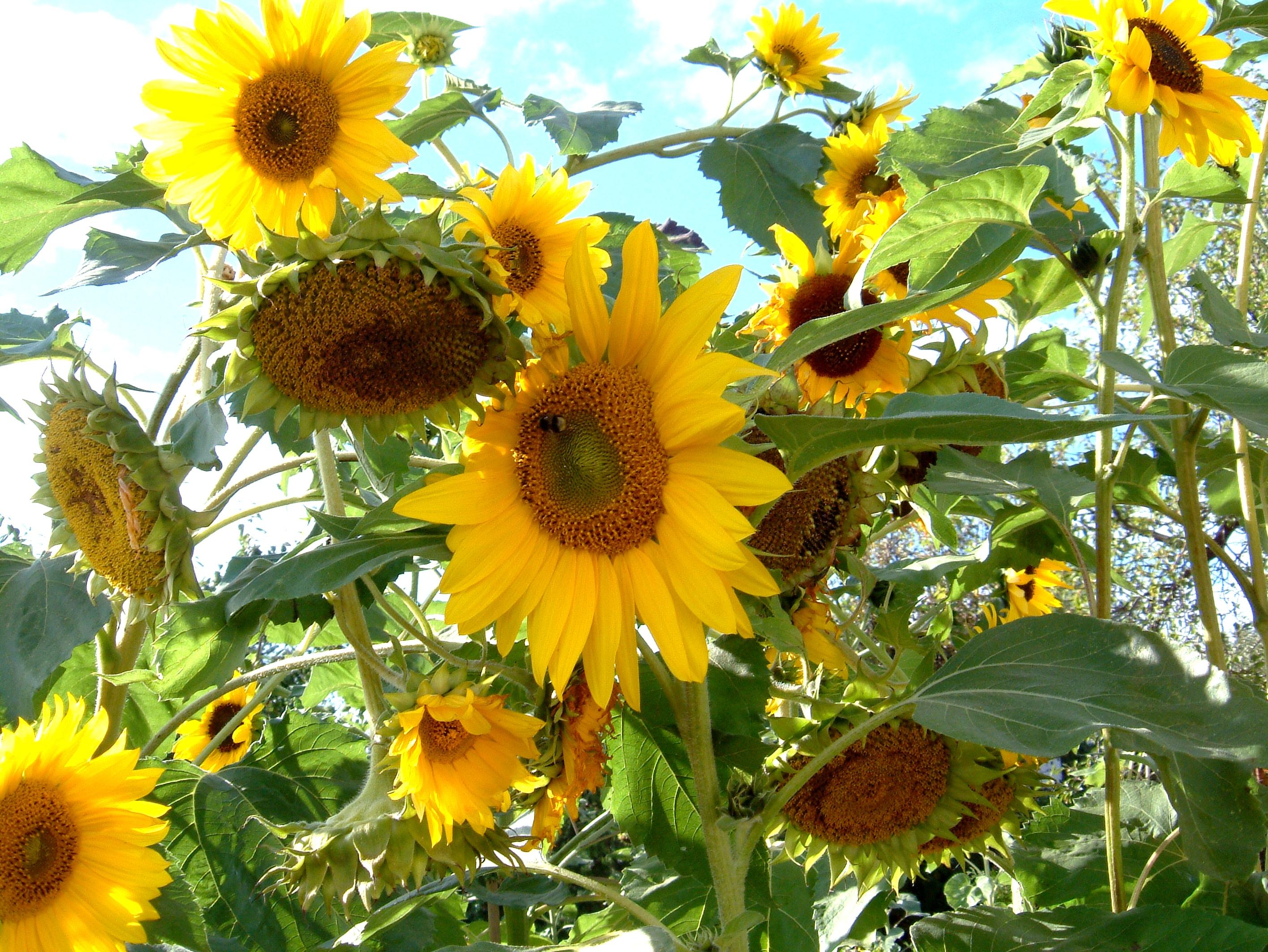 How Do Sunflowers Reproduce Proflowers Blog
