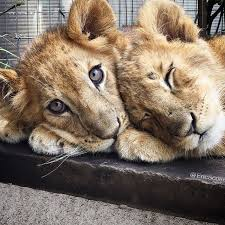 file:the black jaguar white tiger™ foundation cubs - wikimedia