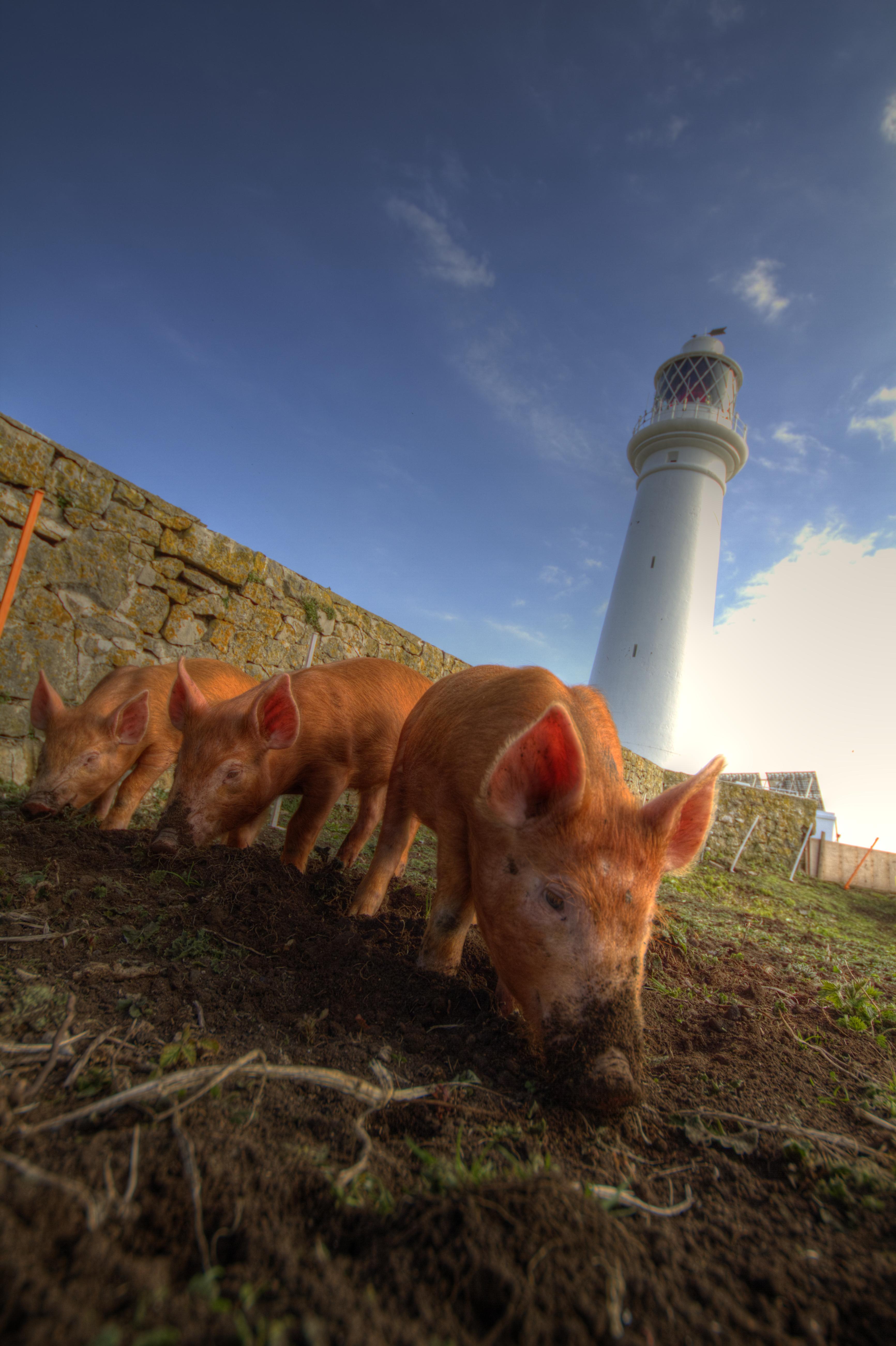 File Three Little Tamworth Pigs On Flat Holm Island Jpg