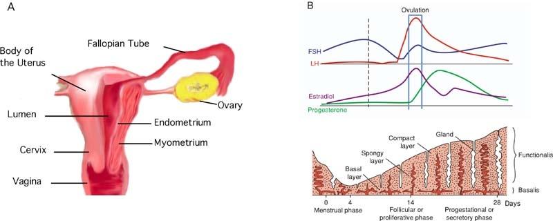 menstruacion