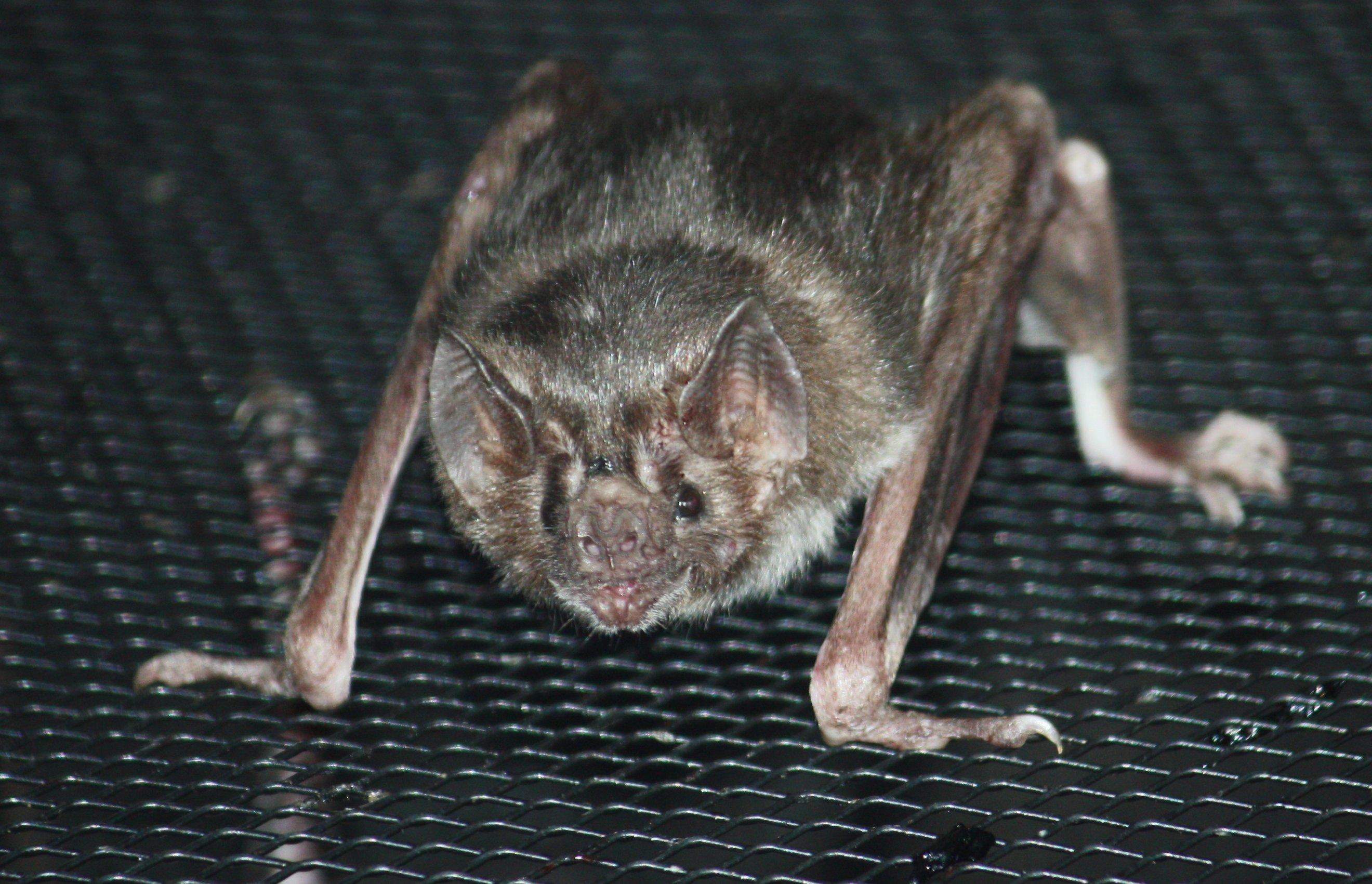 Vampire Bat  National Geographic Kids