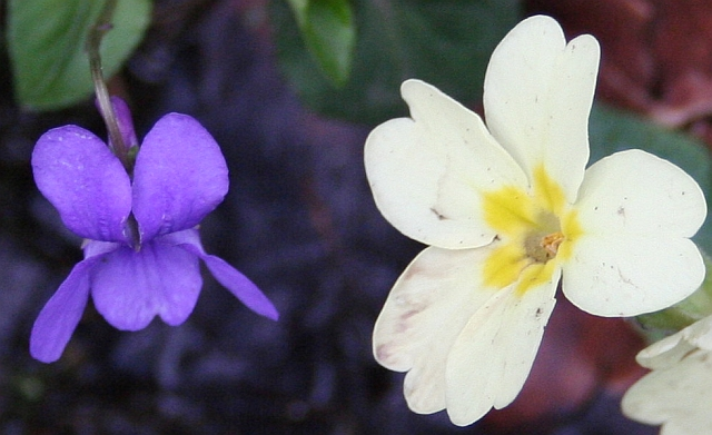 Violet_and_Primrose_-_geograph.org.uk_-_733346.jpg (640×391)