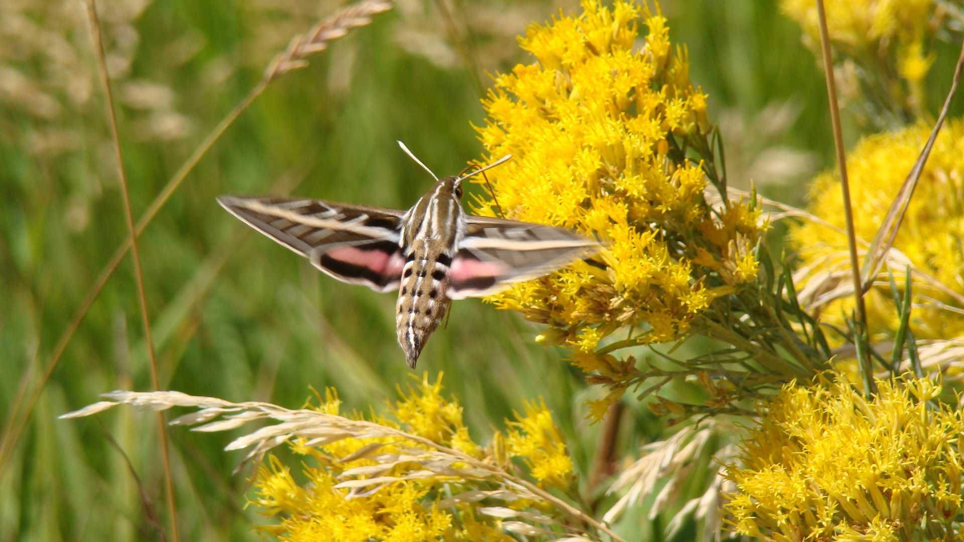 White lined sphinx moth - photo#22