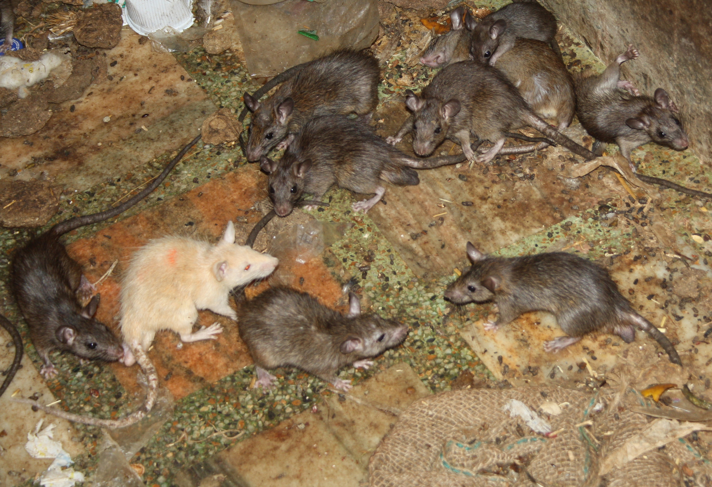 Rats at the temple.