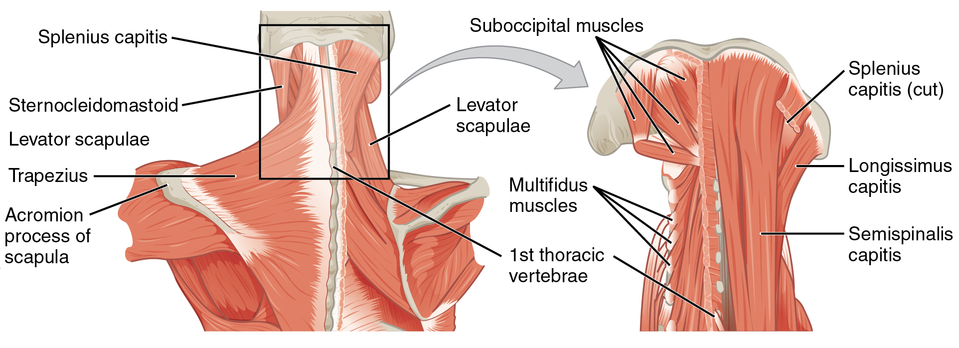 File:1111 Posterior and Side Views of the Neck b and c.png ...