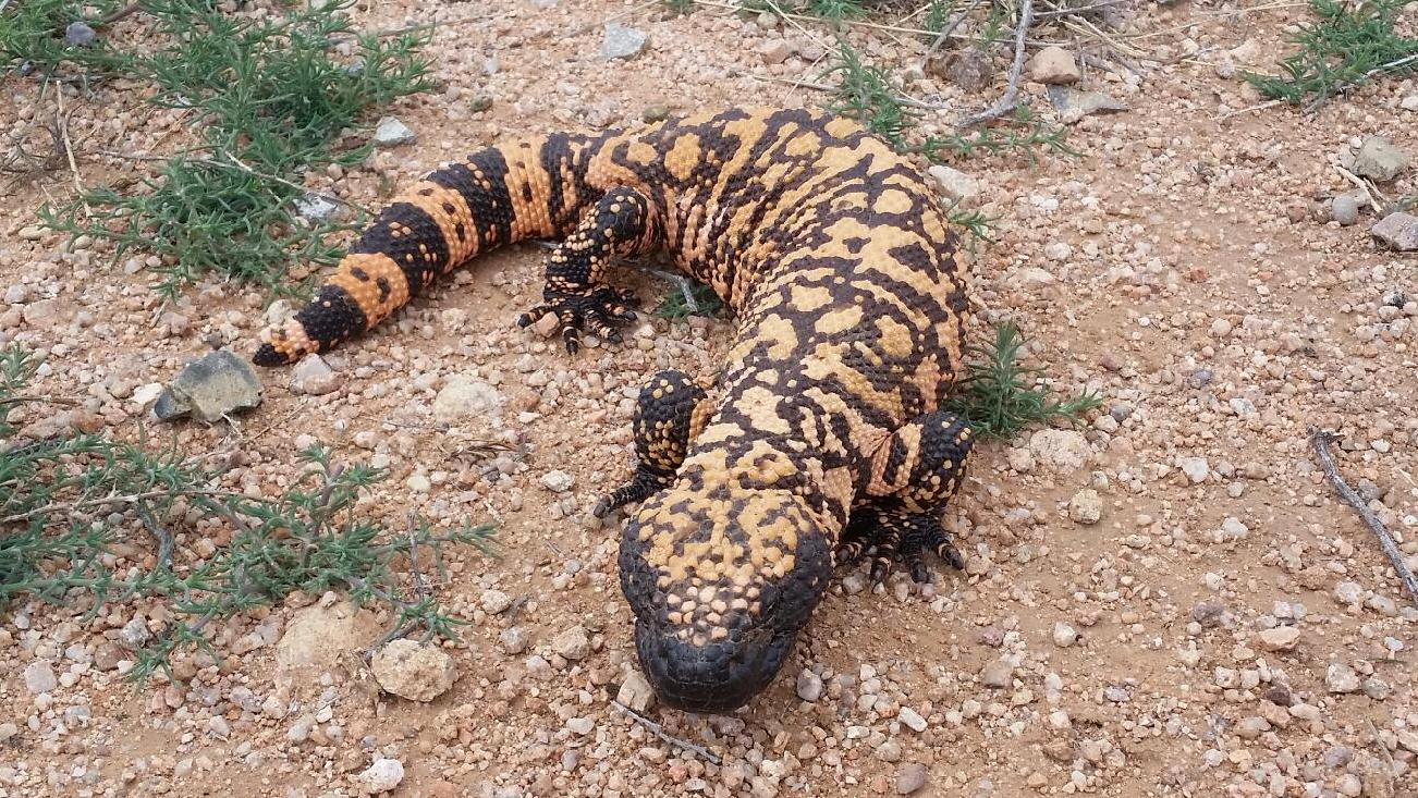 how to draw a gila monster
