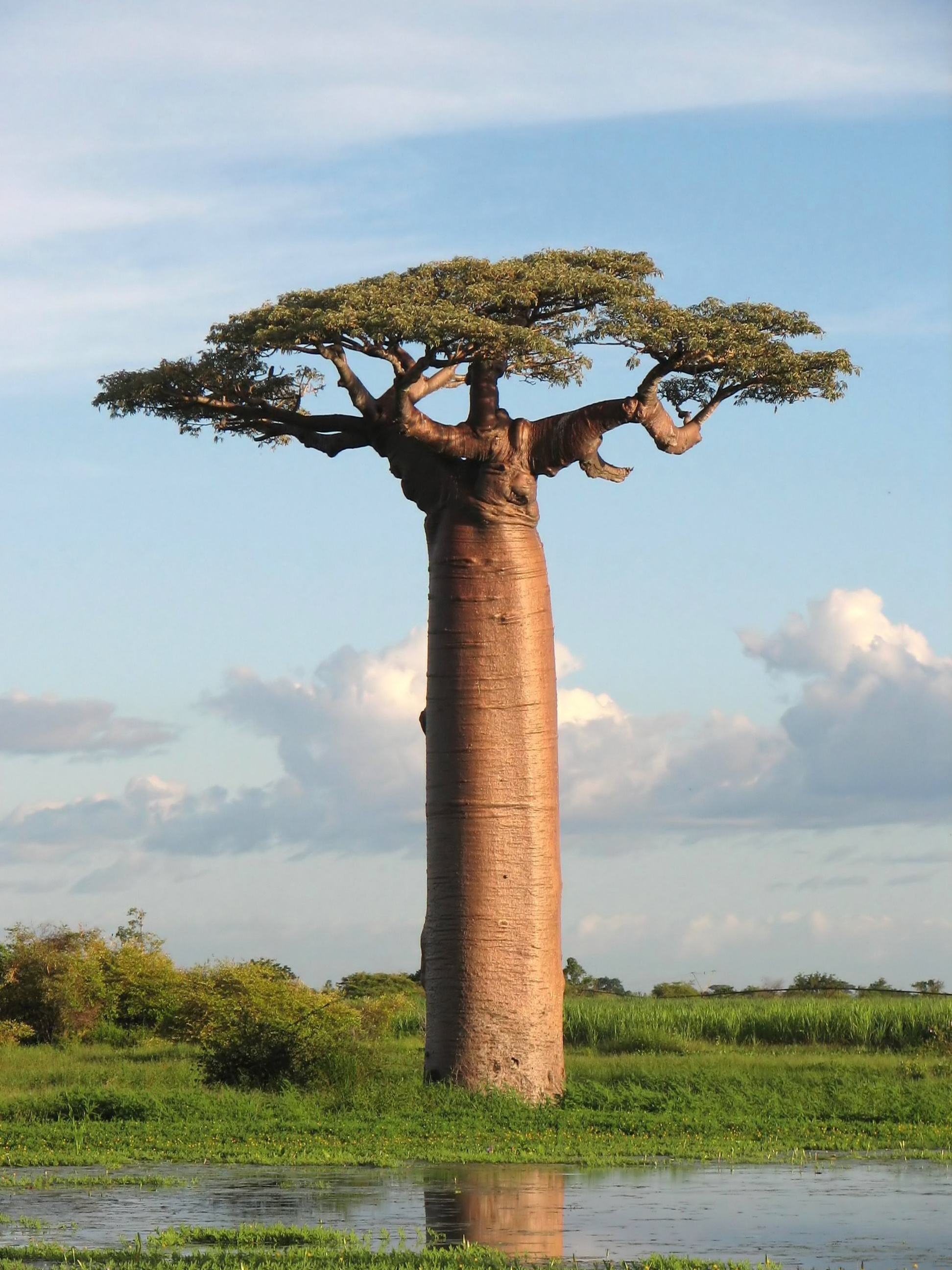 Get a torso and legs as strong as a Baobab tree by adding squats and squatting to your exercise regime
