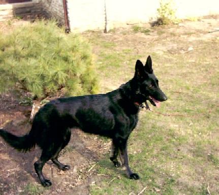 Big German Shepherd Dog