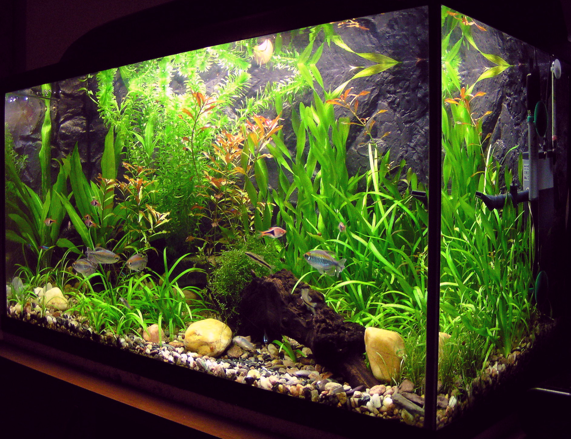 A freshwater aquarium with plants and tropical fish