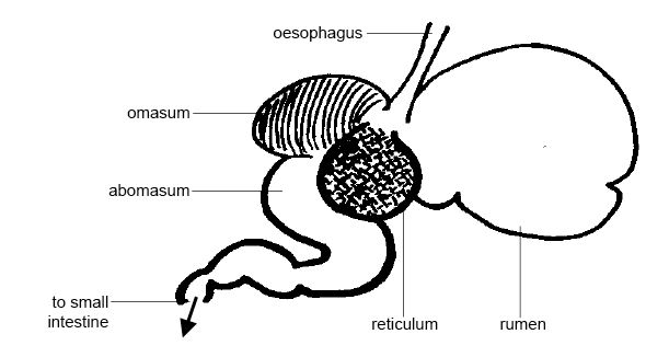 Anatomy and physiology of animals The rumen.jpg