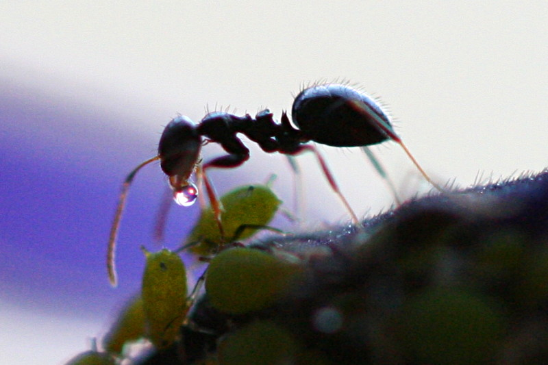 Ant Receives Honeydew from Aphid