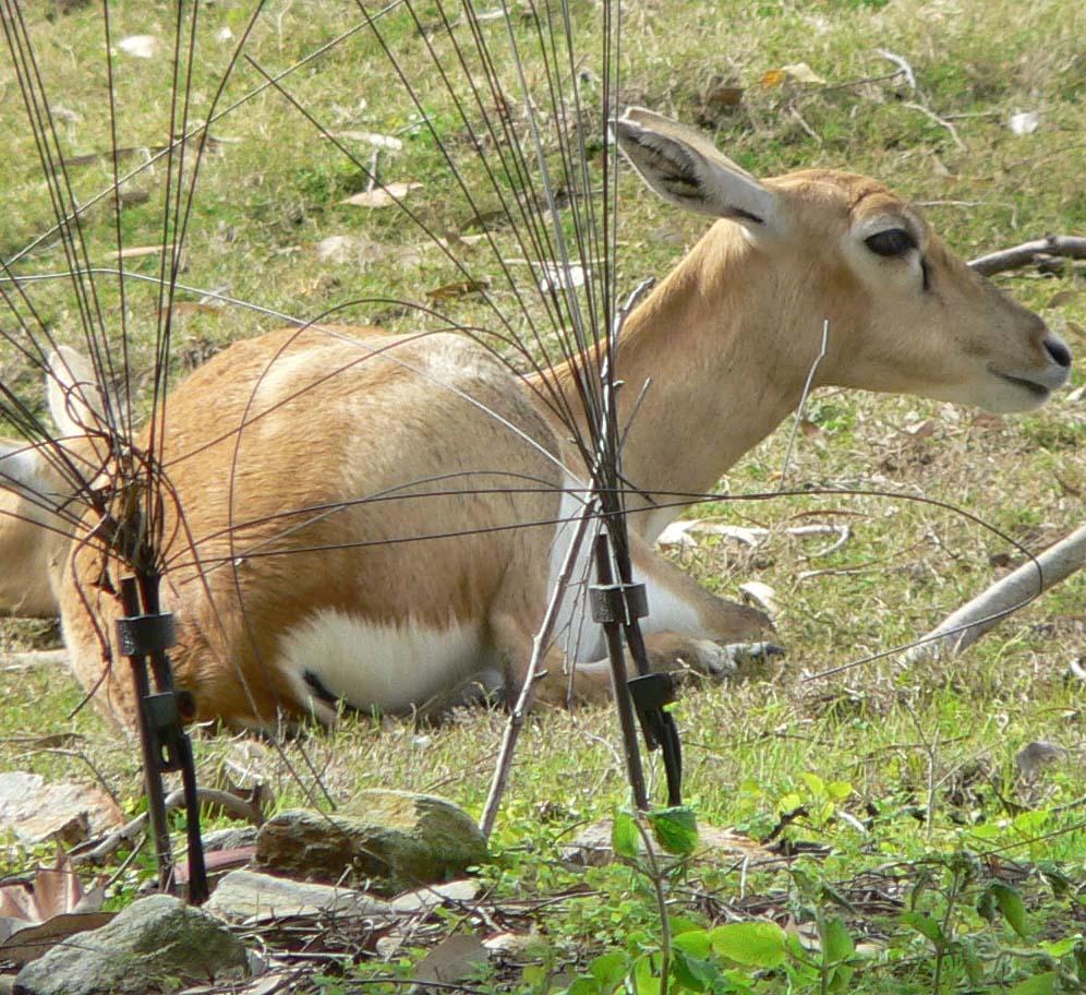 Antilope cervicapra2.jpg