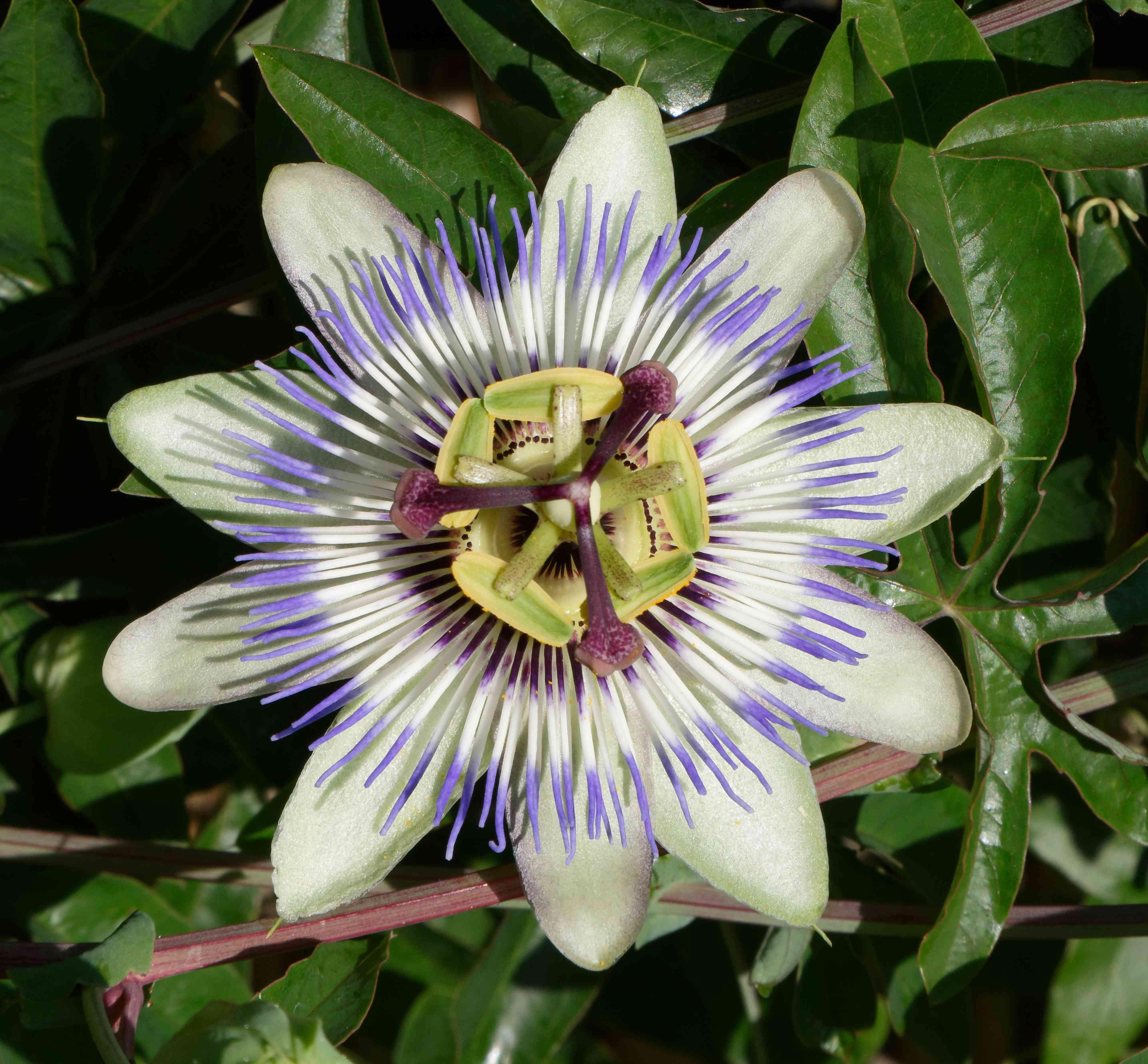 Pflanze Kletter 20 Samen Passionsblume Blau//Passiflora Caerulea