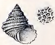 Calliostoma stirophorum