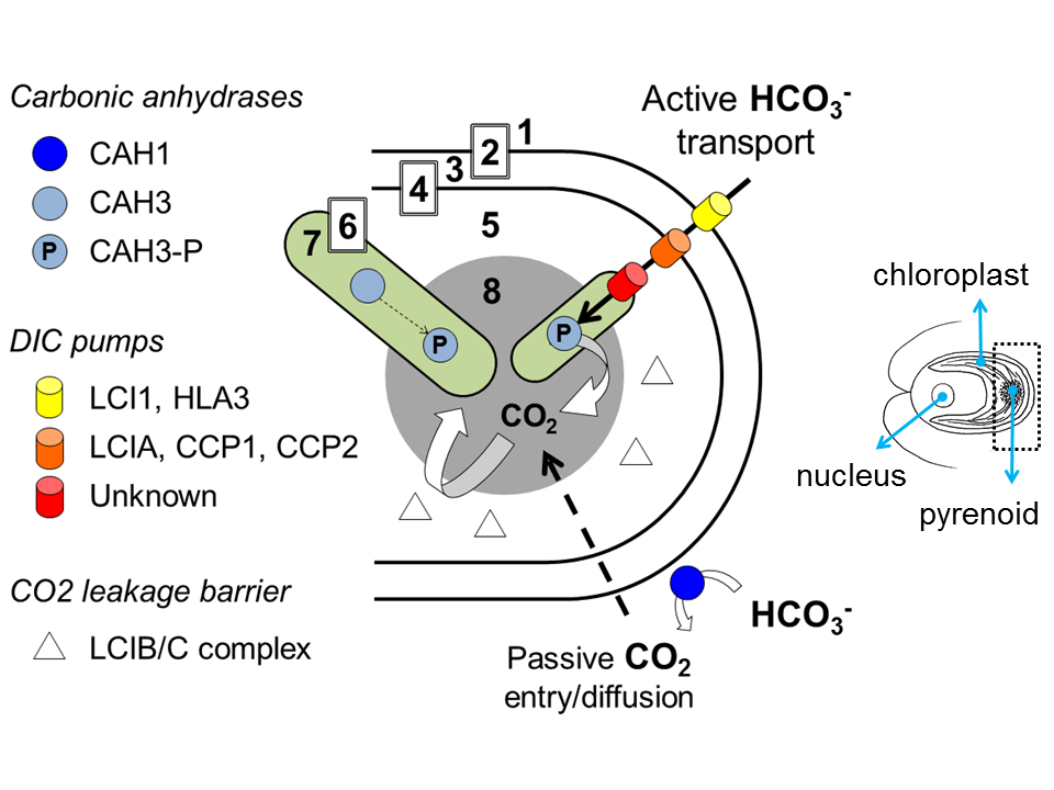 Filecarbon Concentrating Model For Chlamydomonasg Wikimedia
