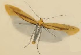 Coleophora solitariella.JPG