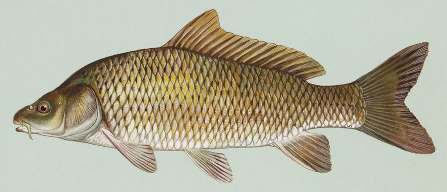 http://upload.wikimedia.org/wikipedia/commons/a/a8/Common_carp.jpg?uselang=fr