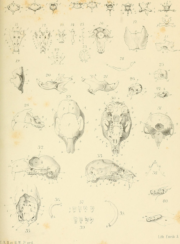 File:Die Osteologie und Myologie von Sciurus Vulgaris L., verglichen ...