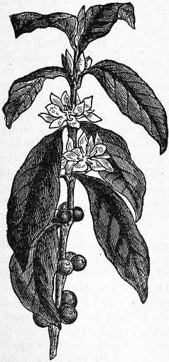 1911 encyclopdia britannicacoffee wikisource the free online eb1911 coffee fig 1branch of coffea arabicag mightylinksfo