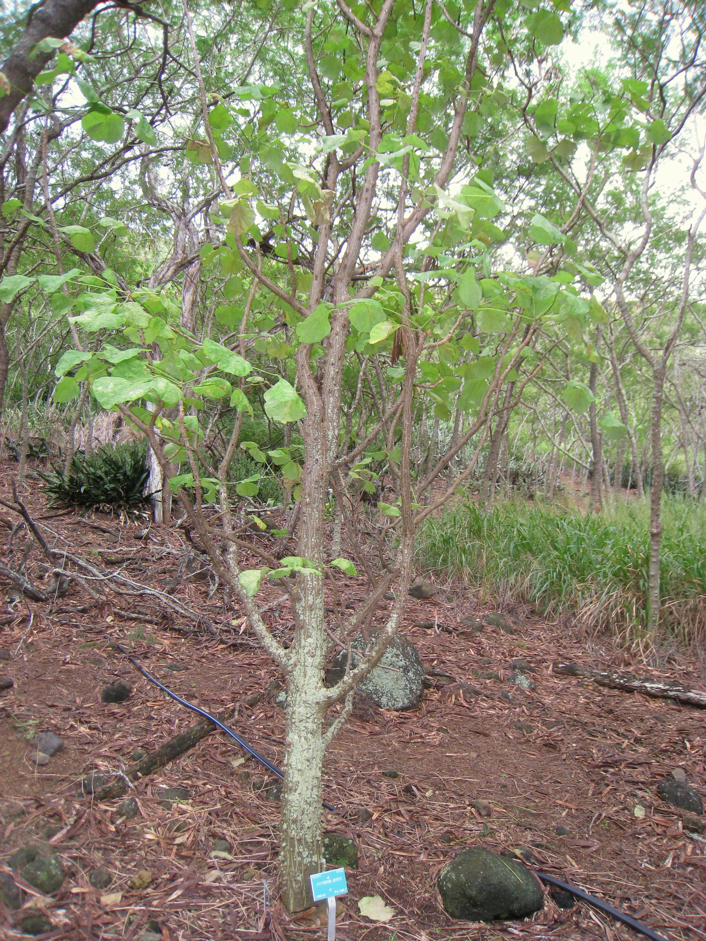 File Erythrina Burtii Koko Crater Botanical Garden Img