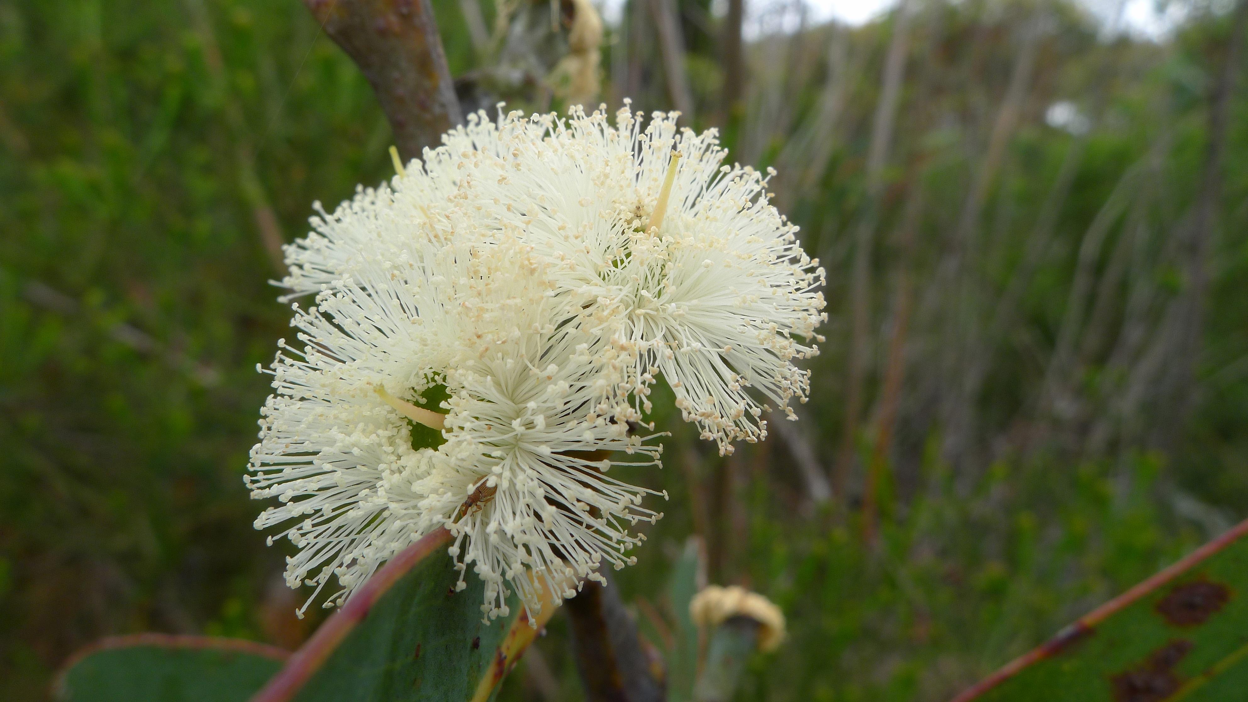 Eucalyptus luehmanniana FileEucalyptus luehmanniana 1jpg Wikimedia Commons