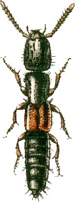 File:Eulissus fulgidus Jacobson.png