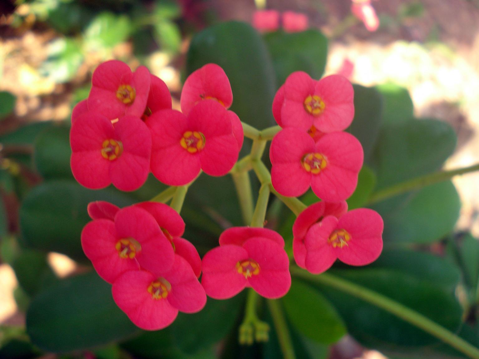 File Euphorbia flower show 2 JPG Wikimedia mons