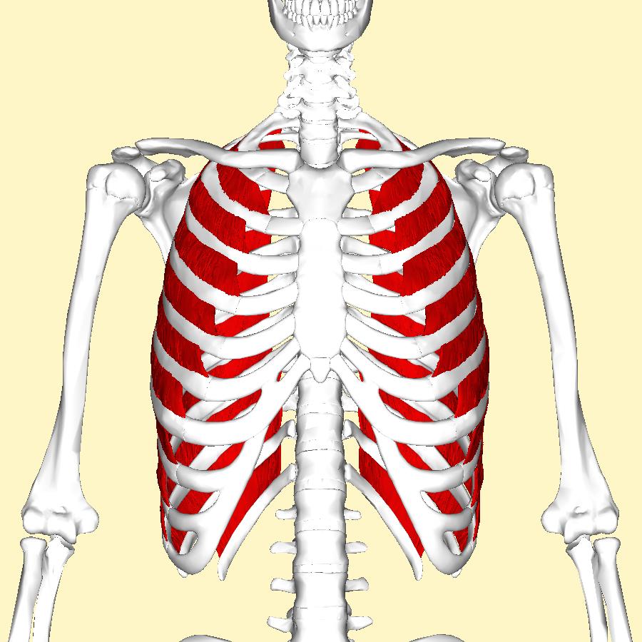 Fileexternal Intercostal Muscles Frontal2g Wikimedia Commons