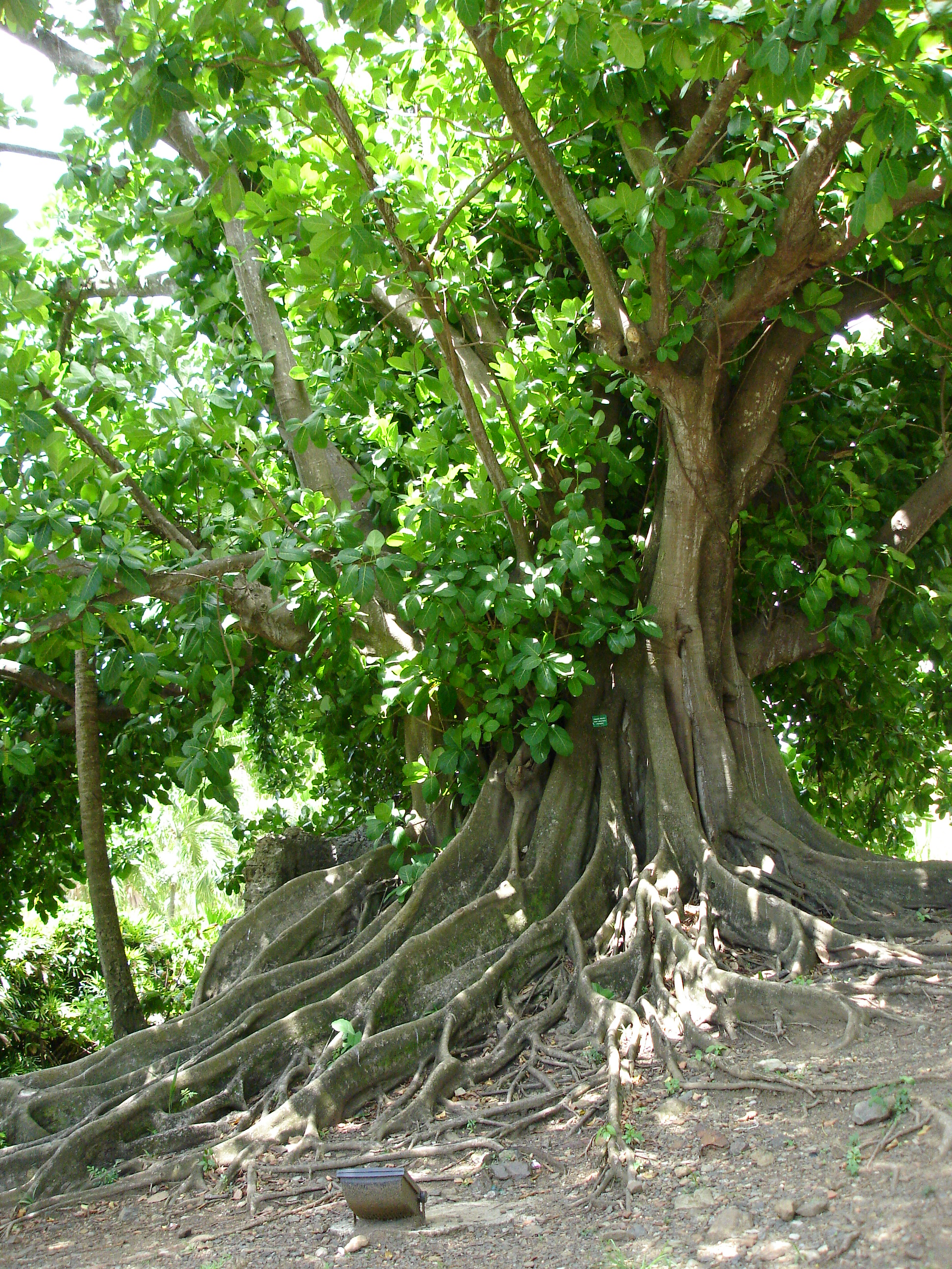 how to look after bonsai fig tree