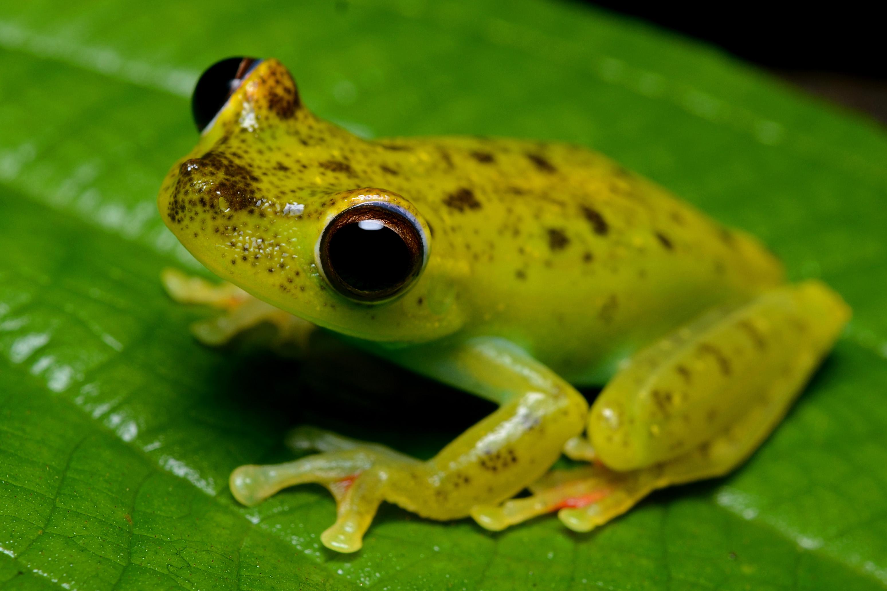 canal zone tree frog wikipedia