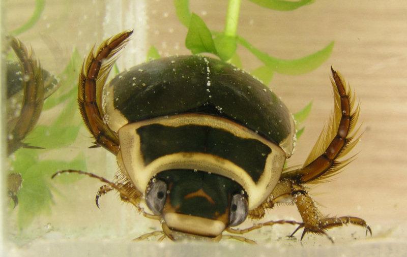 Potápnik obrúbený (lat. Dytiscus marginalis)