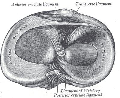 Anatomía del los meniscos