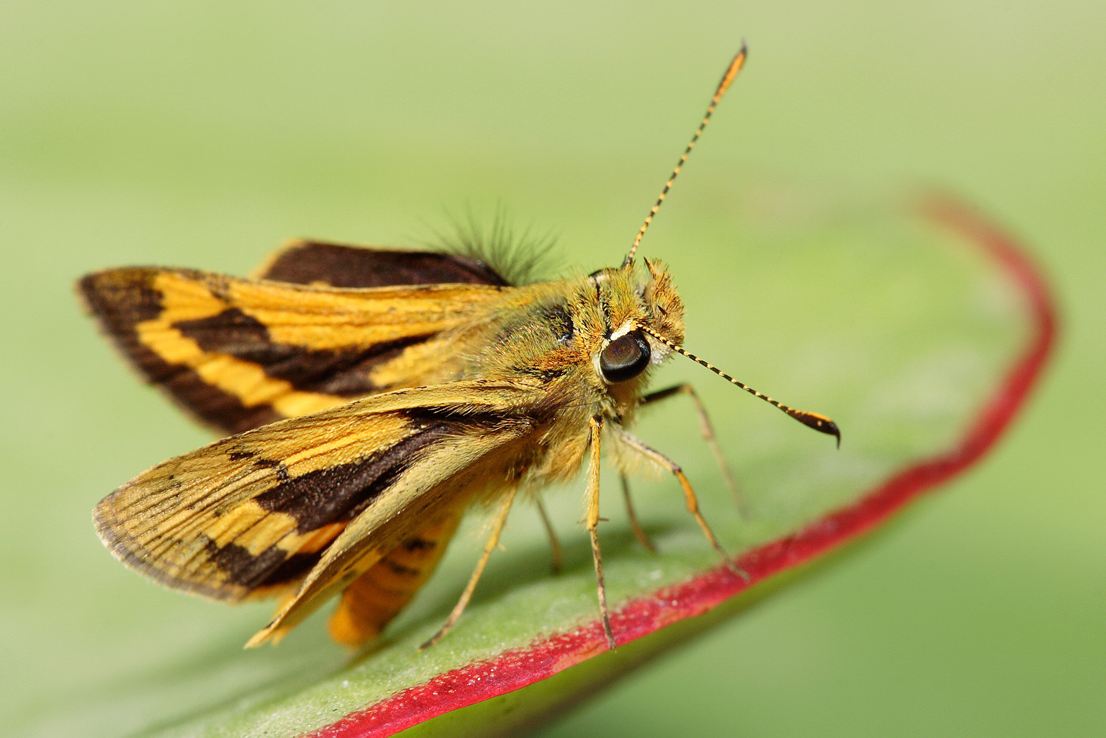 A Green Grass-Dart Skipper Butterfly, Ocybadistes walkeri. Specimen is approx 25mm, taken in a garden in Melbourne, Australia in April 2007 Other version: