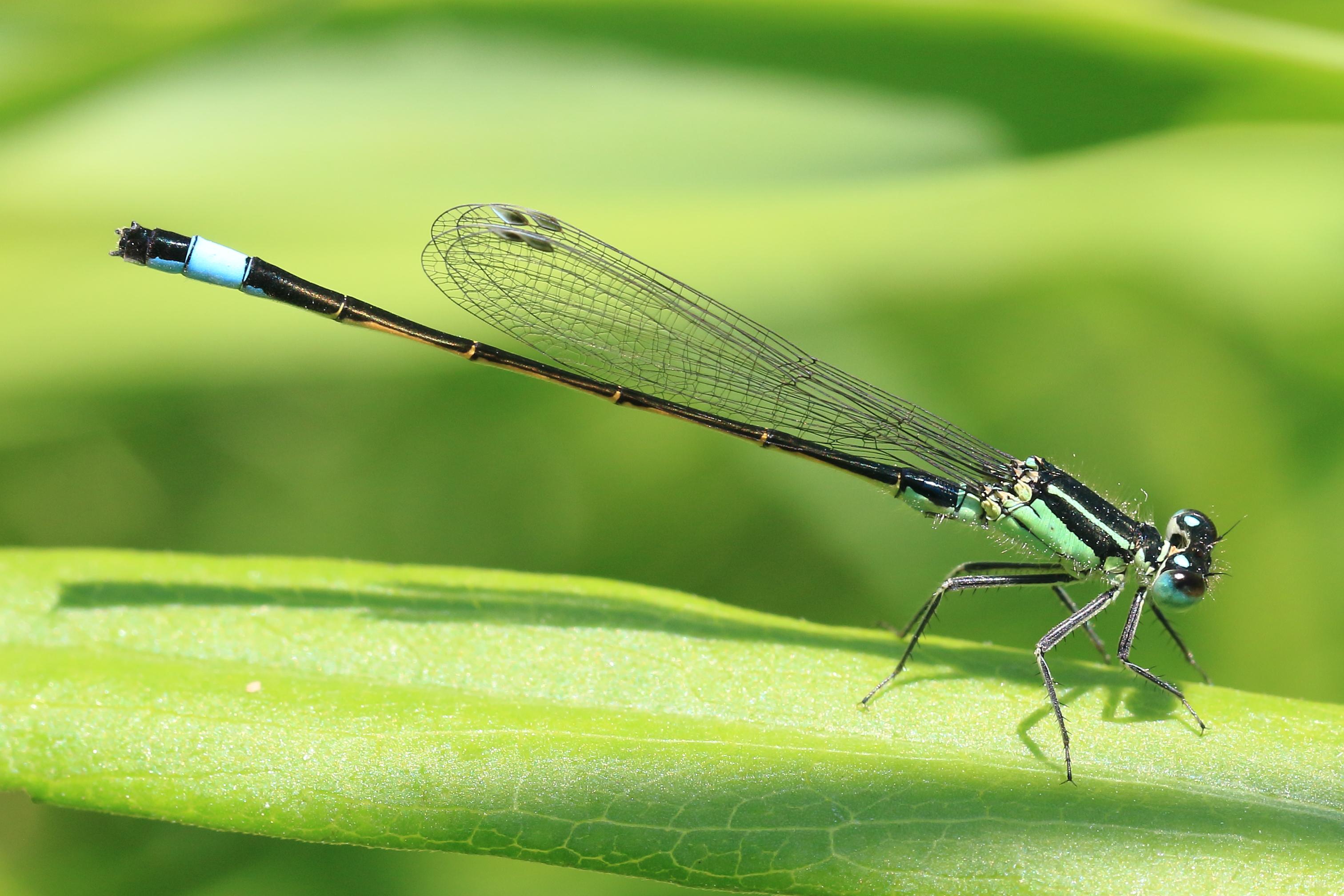 File:Große Pechlibelle Ischnura elegans 6054.jpg - Wikimedia Commons