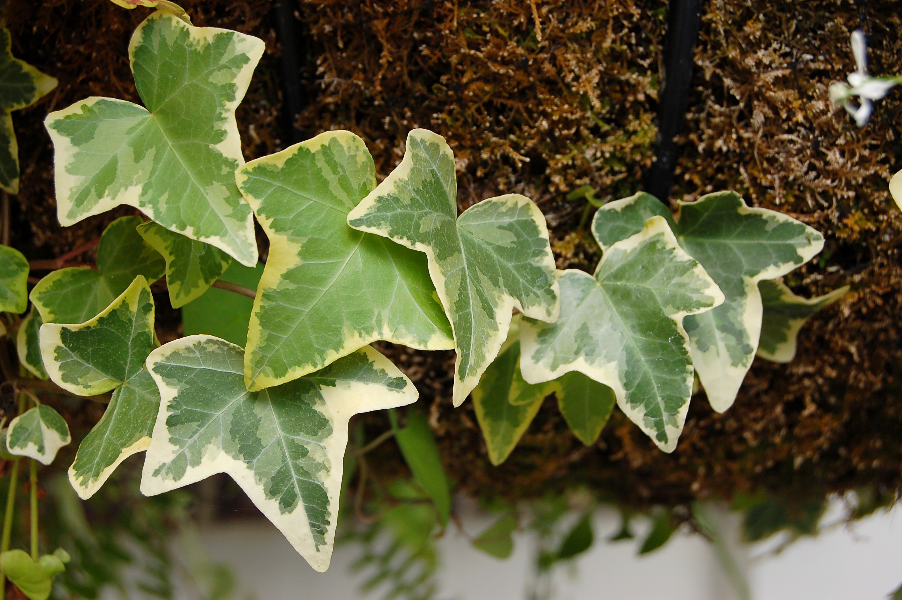 File:Hedera Helix Leaves 3008px.jpg