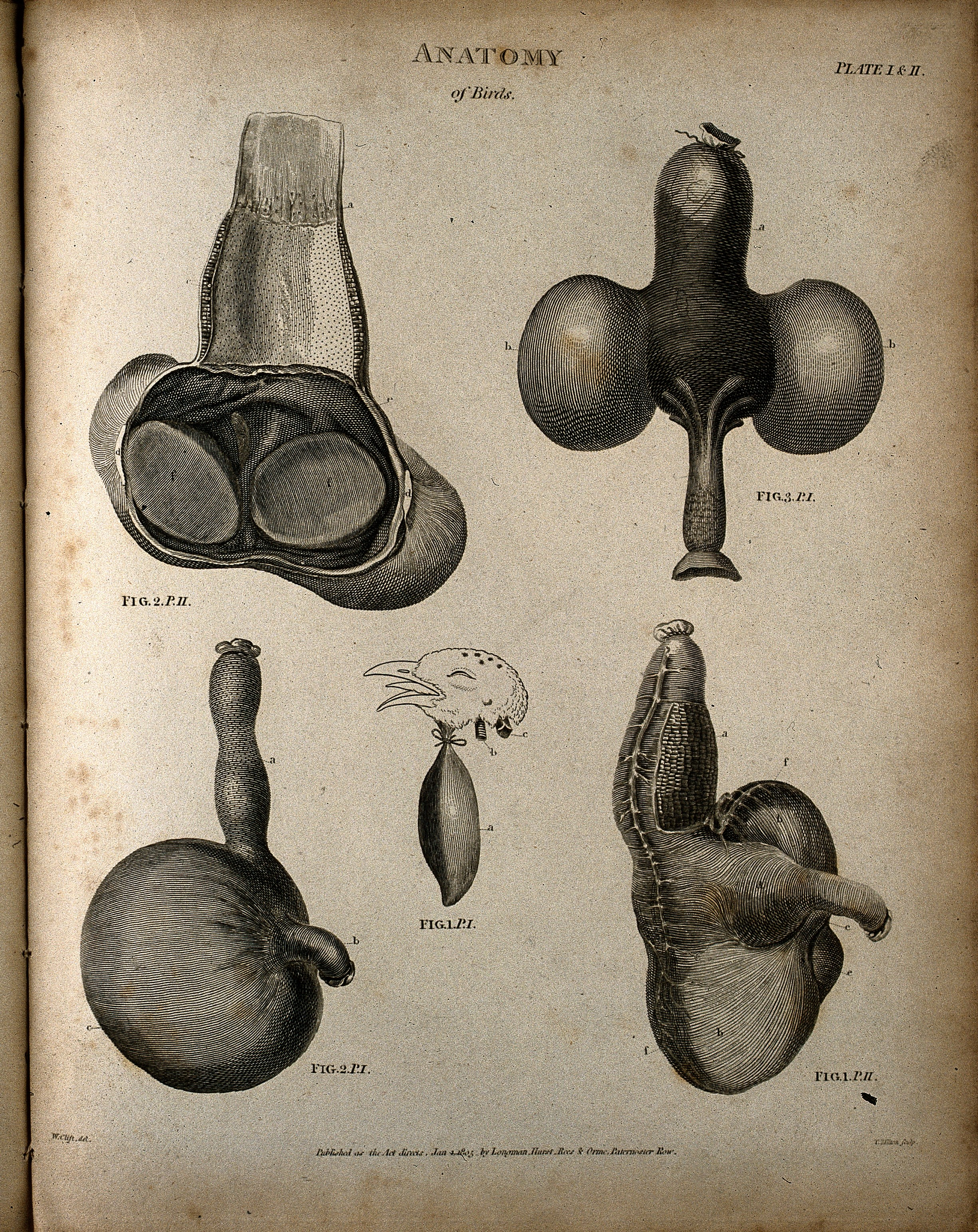 File:Internal organs of a bird; five figures Wellcome V0008068.jpg ...